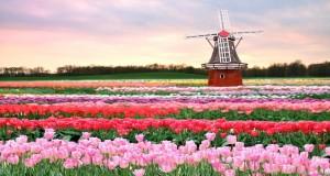 Holandske lale